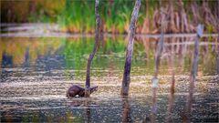 Fischotter bei der Jagd erwischt