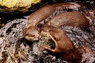 Fischotter die natürlichen Feinde der Orang Utans