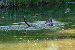 Fischotter erlabt sich an einer Maus