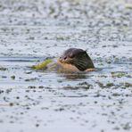 Fischotter ( Lutra lutra) mit Karpfen - wildlife