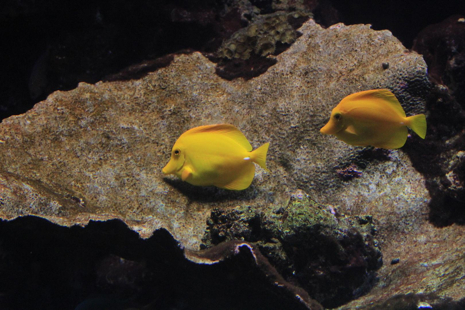 Fischpärchen