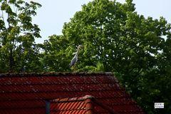 Fischreiher auf einem Dach in der Nachbarschaft