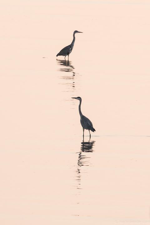 Fischreiher im Morgenrosa
