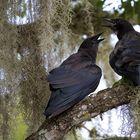 Fish Crows (Corvus ossifragus)