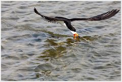 Fishing Black Skimmer