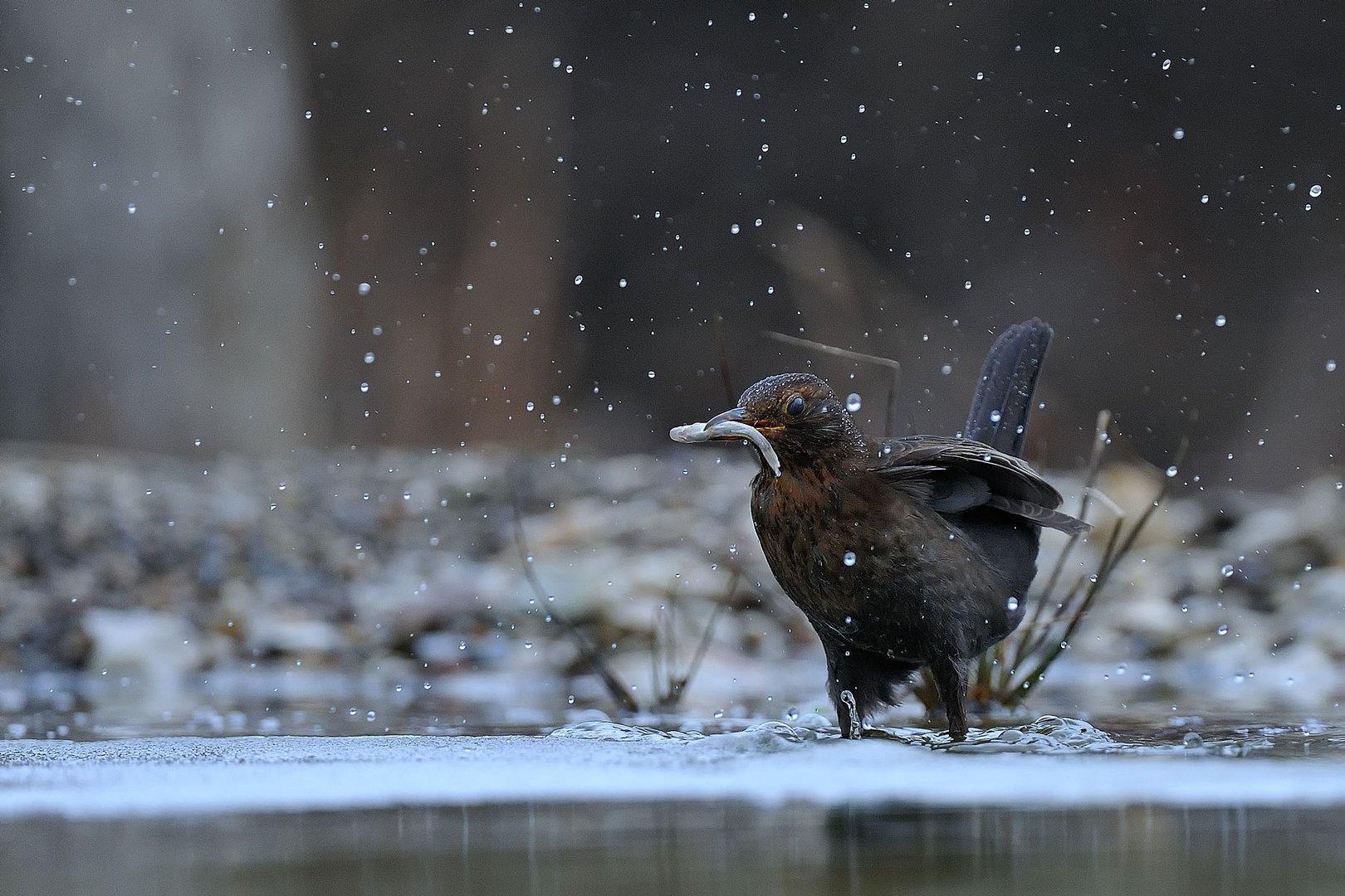 Fishing Blackbird - Female