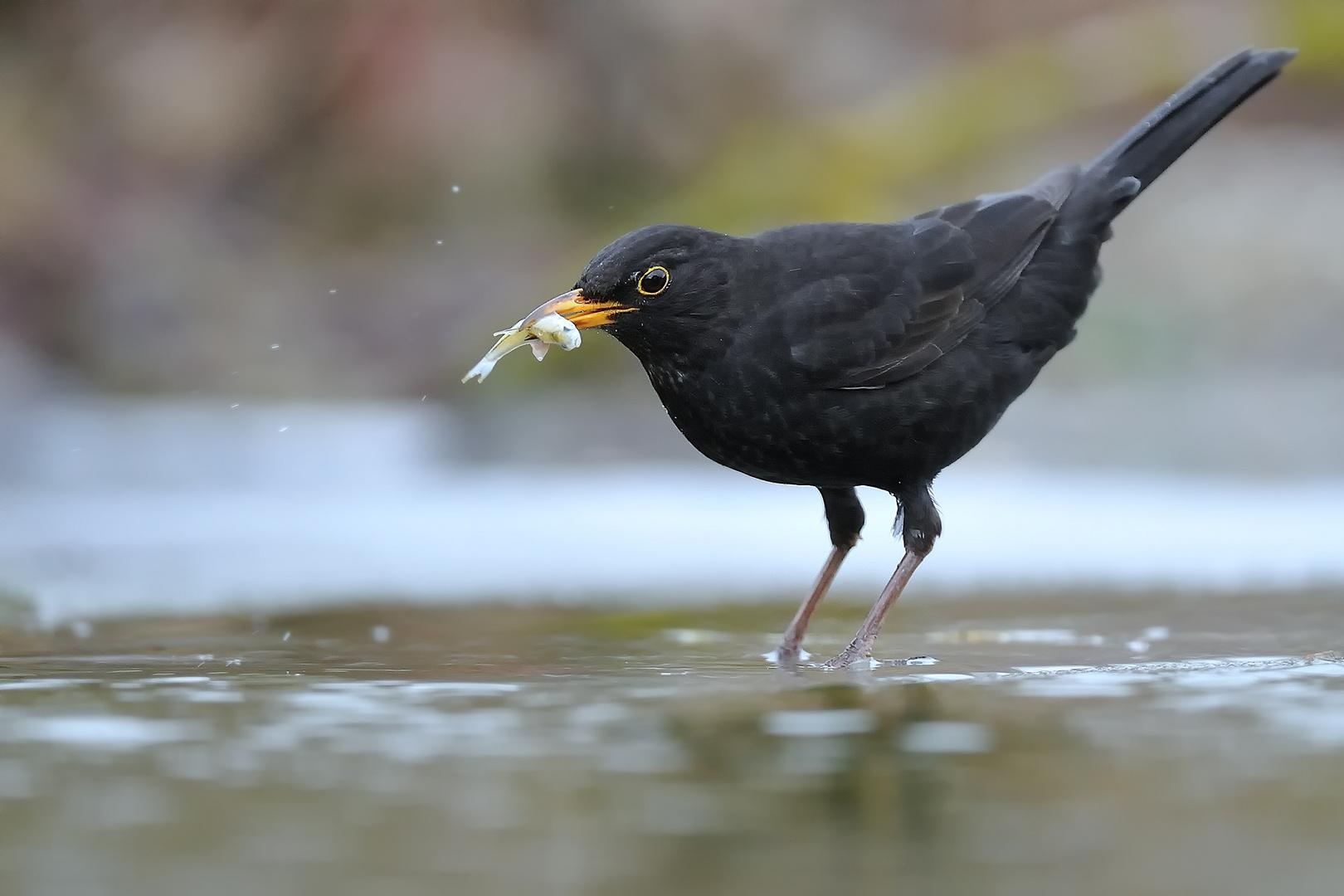 Fishing Blackbird - Male