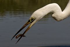Fishing Great White Egret