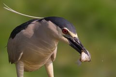 Fishing night heron