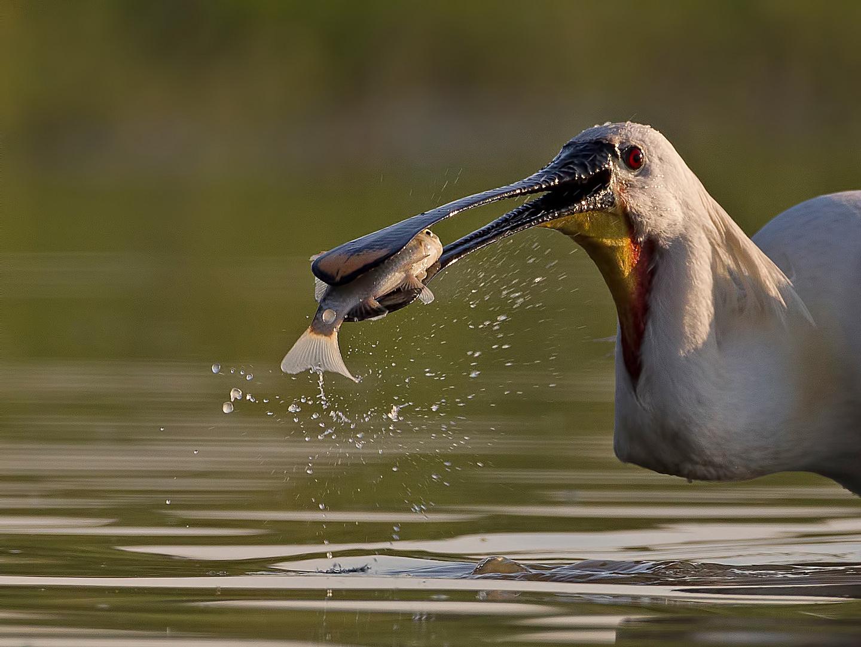 Fishing Spoon Bill