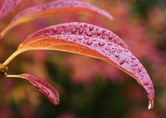 Fl rote Blätter NSC_1387 Kopie