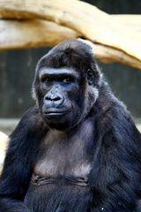 Flachland Gorilla
