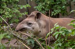 Flachland-Tapir-Zoo-ZH