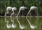 Flamants rose de la réserve du Pont de Gau en Camargue