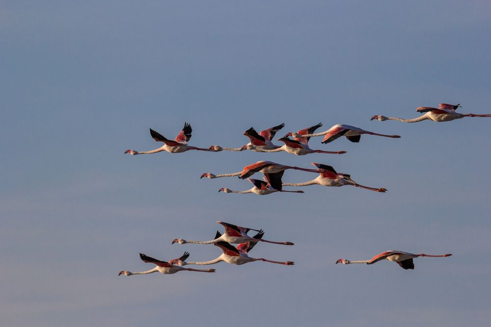 -- flamants roses --