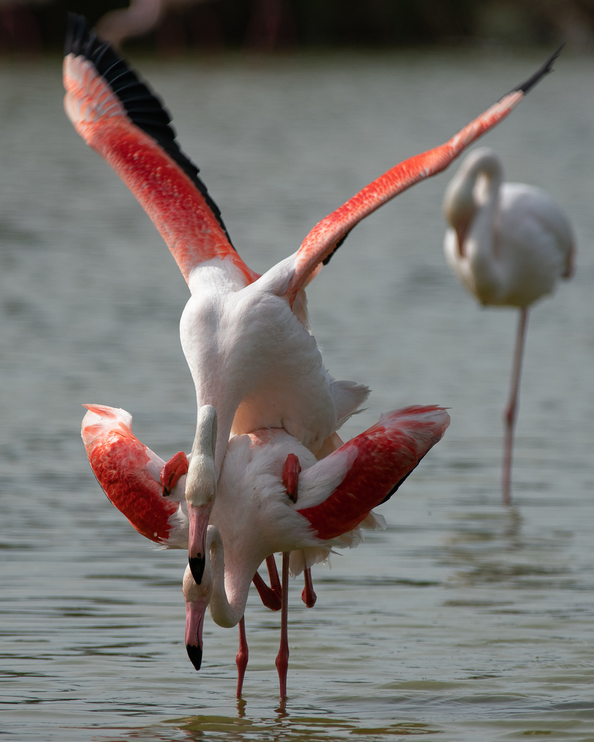 Flamants roses amoureuses