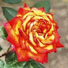 Flamed Rose 1