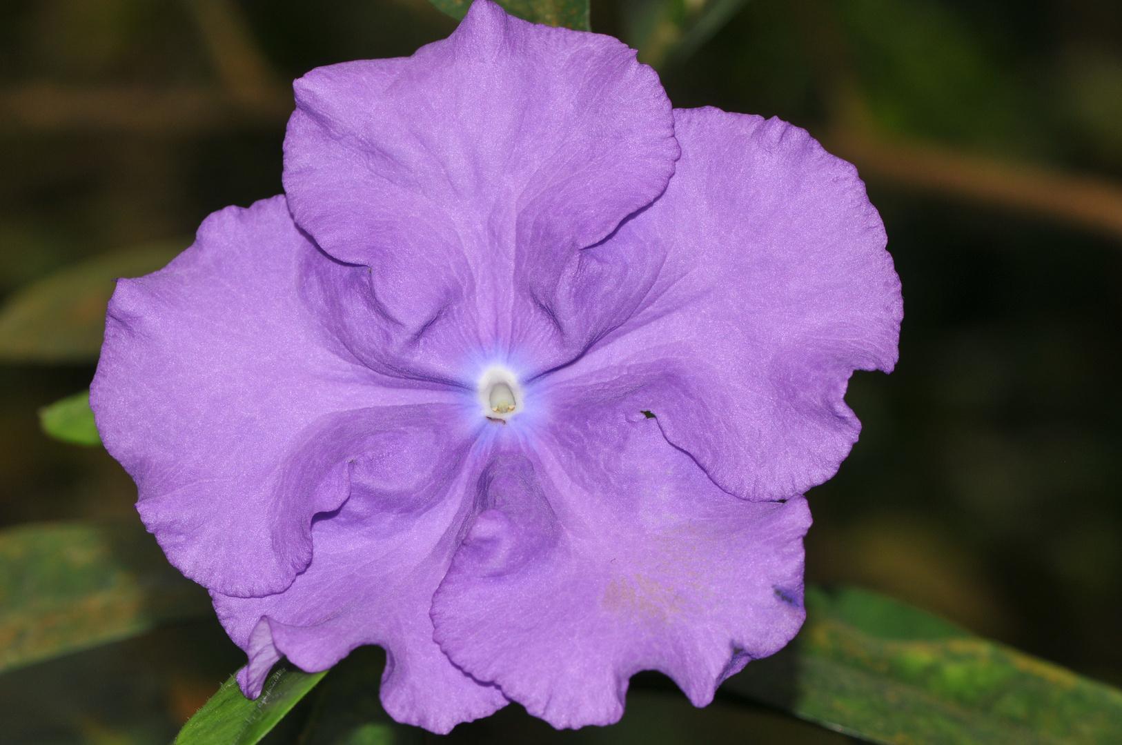 Flamenco in Violet