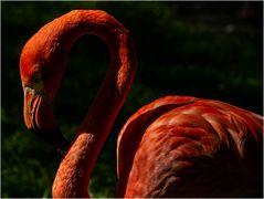 Flamingo, 2