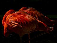 Flamingo, 3