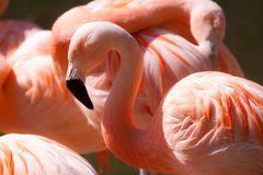 - flamingo -
