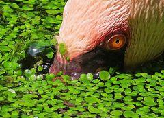 Flamingo auf Tauchkurs