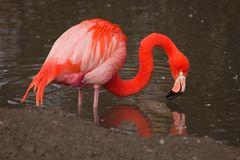 Flamingo bei der Nahrungssuche