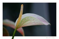 Flamingo Blüte zum Mittwoch