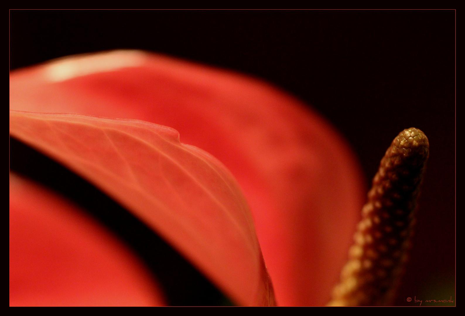 flamingo flower (no. 1)