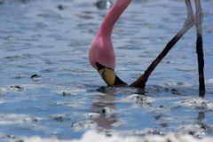 Flamingo Hedionda 2