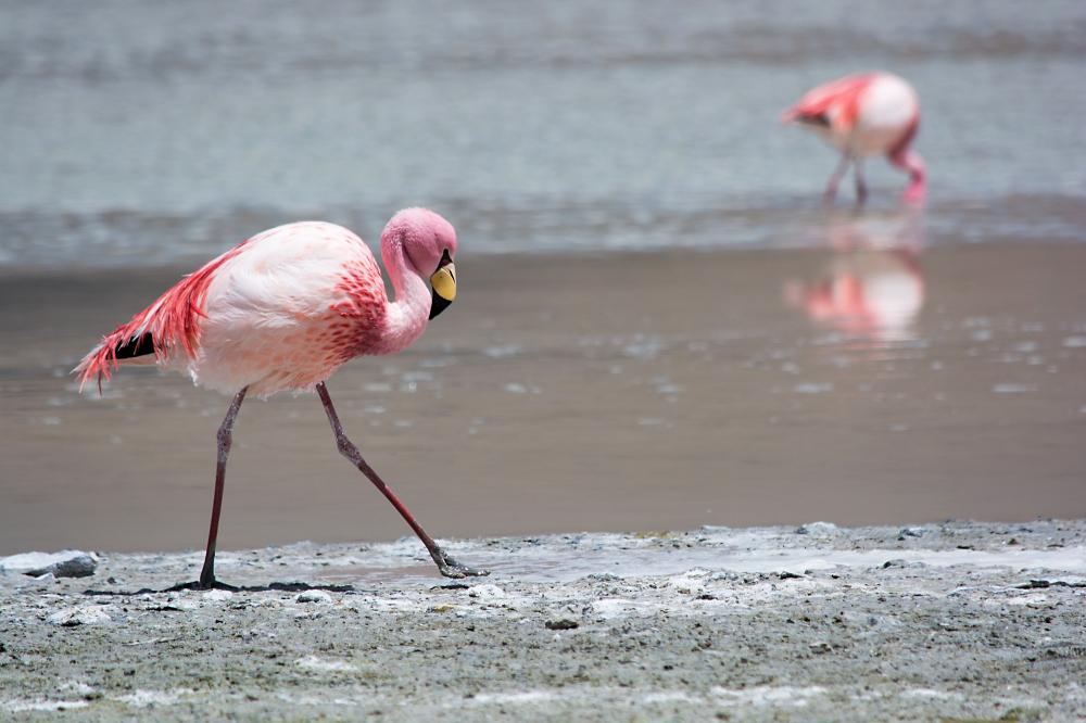 Flamingo Hedionda
