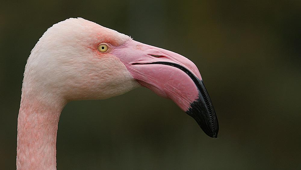 Flamingo im Dählhölzli, Bern