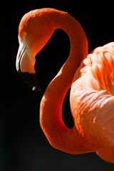 Flamingo im Profil