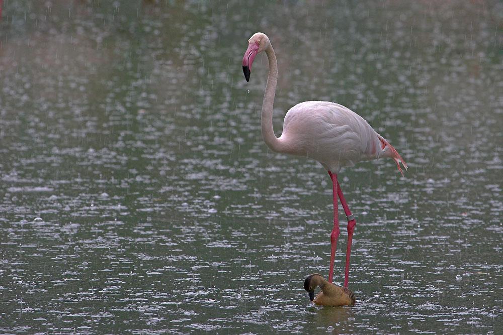 Flamingo im Regen