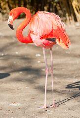 flamingo im zoo