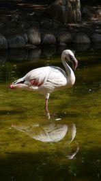 Flamingo im Zoo auf Fuerteventura