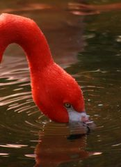 Flamingo im Zoo Leipzig