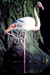 Flamingo in Augsburg