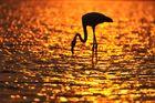 Flamingo in der Wüste