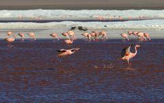 Flamingo Lagune