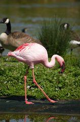 Flamingo mit Broken-neck-Geste