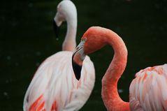 Flamingo oder Flamenko oder so