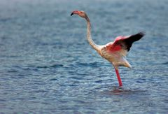 Flamingo (Phoenicopteridae)