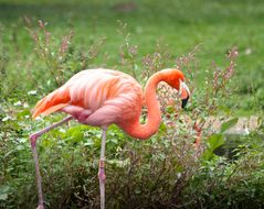 Flamingo pur