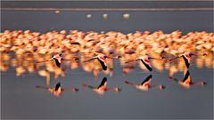 Flamingo Schwadron