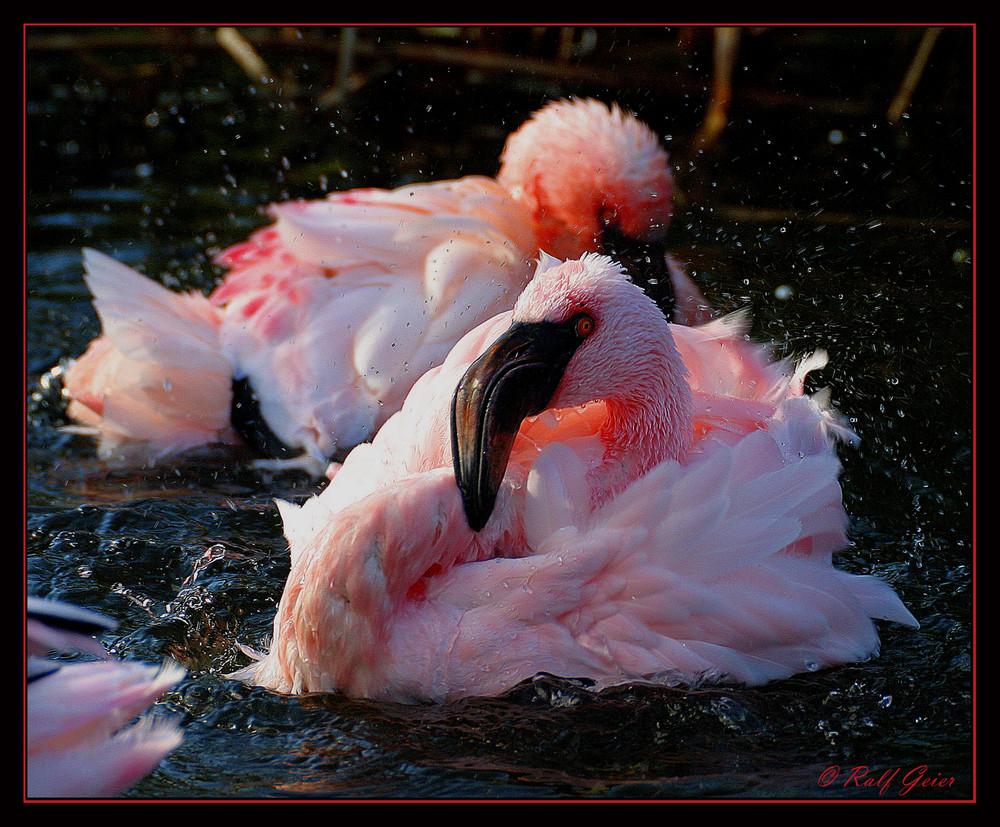 Flamingo Serie 4
