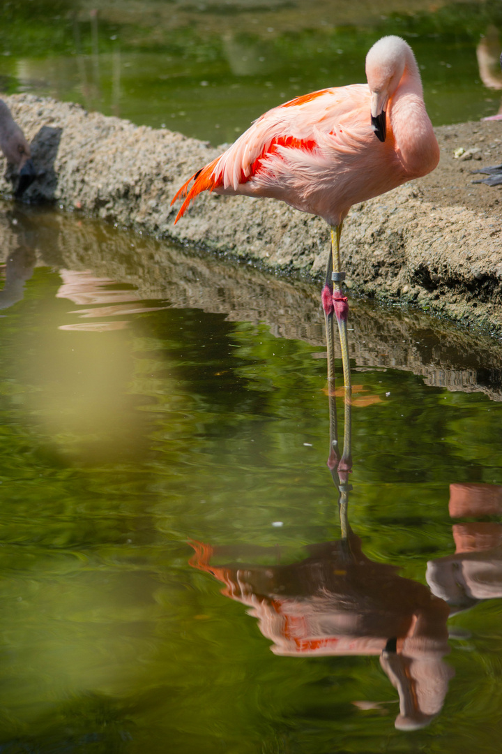 Flamingo sieht sich im Wasser