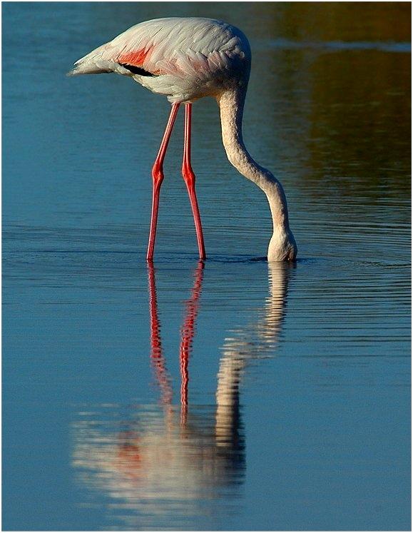 Flamingo-Spiegelbilder....