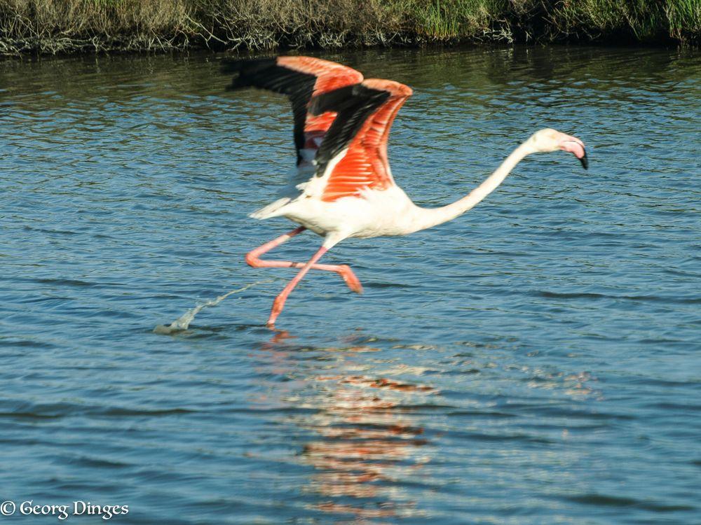 Flamingo startet in den Sommer (Camargue)