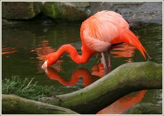 Flamingo-Tränke